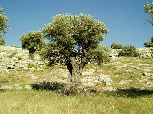 Pohon Zaitun di Tanah Arab